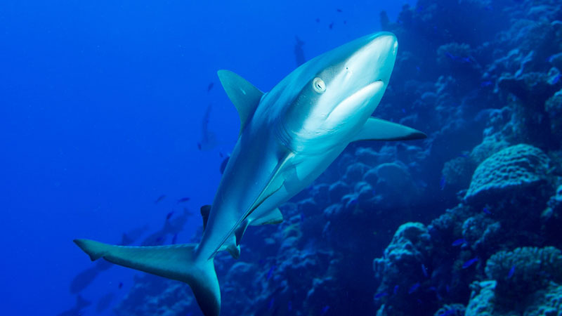 Swimming with reef sharks