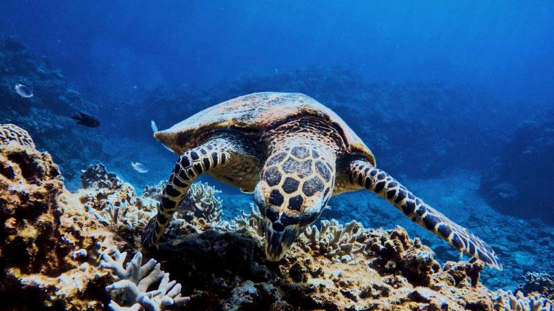 sea turtle swimming in okinawa, japan