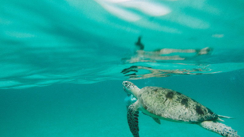 a sea turtle in the ocean