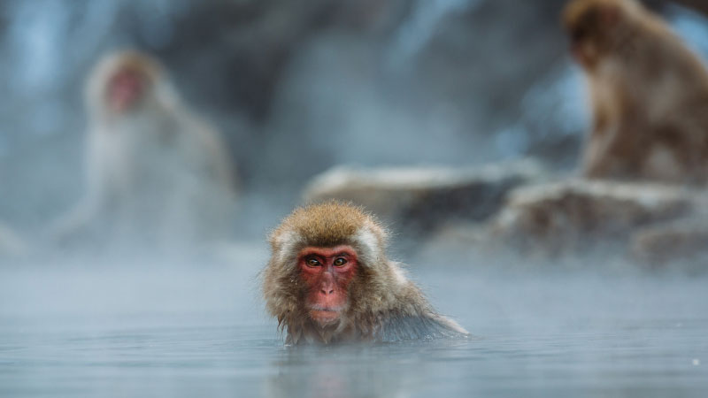 japanese macaque sitting in the hot springs