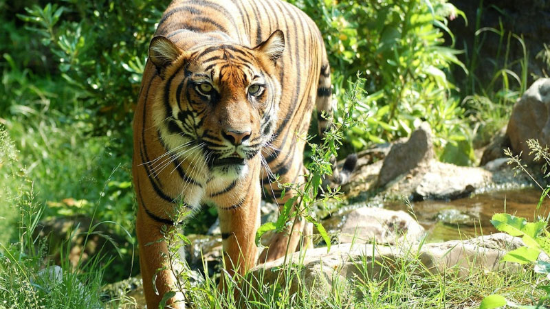 a tiger walking next to a stream