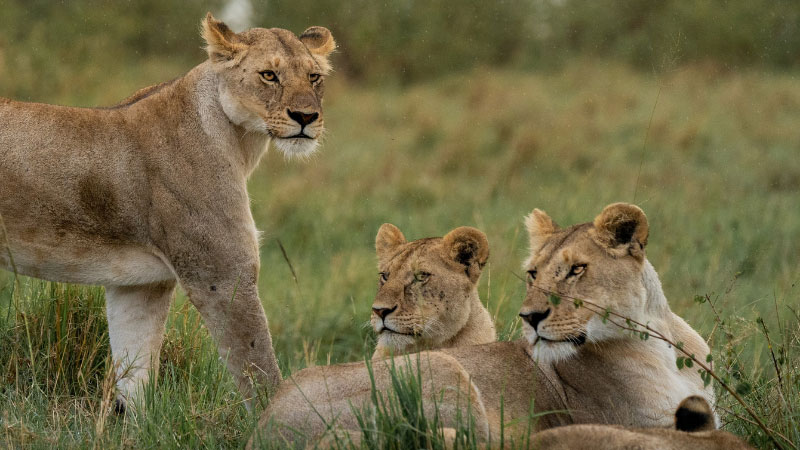a photograph of a pride of lionesses
