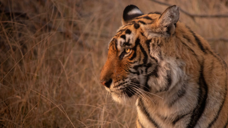 a bengal tiger in one of India's national parks