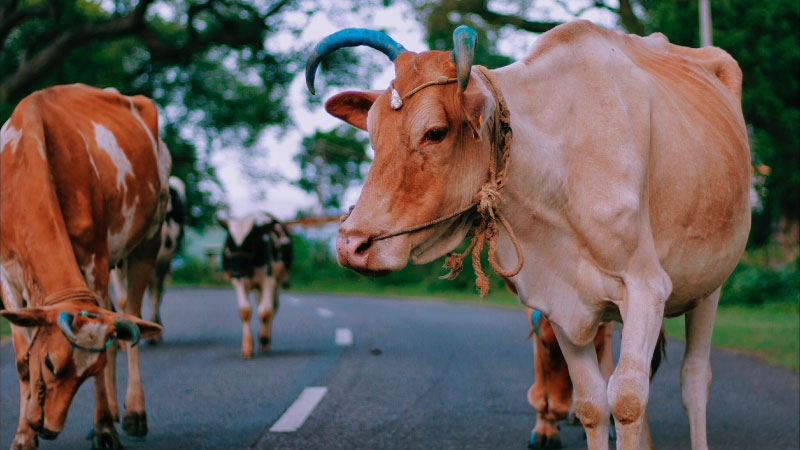 a cow walking along a road in India