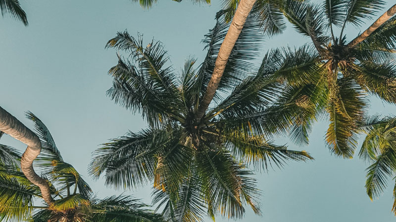 palm trees against a clear blue sky