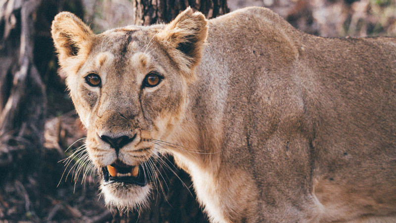 a lioness in gir forest