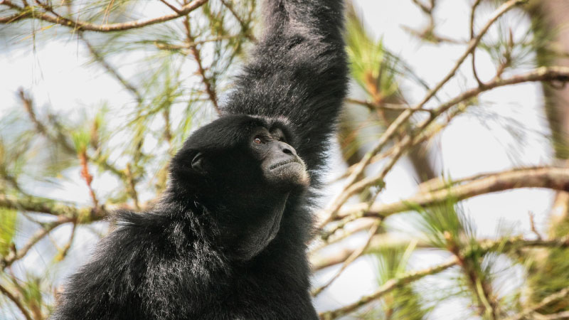 siamang in the trees