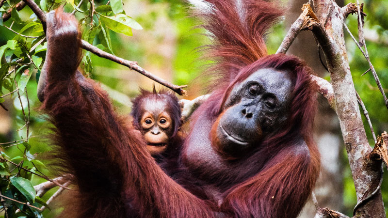mother and baby orangutan swinging in the trees
